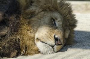 リラックスするライオン
