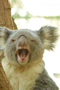 あくびをするコアラ