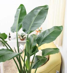 初心者におすすめの観葉植物(オーガスタ)