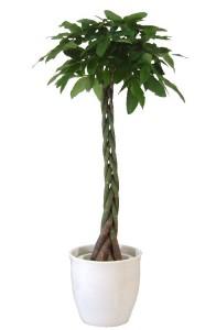 初心者におすすめの観葉植物(パキラ)